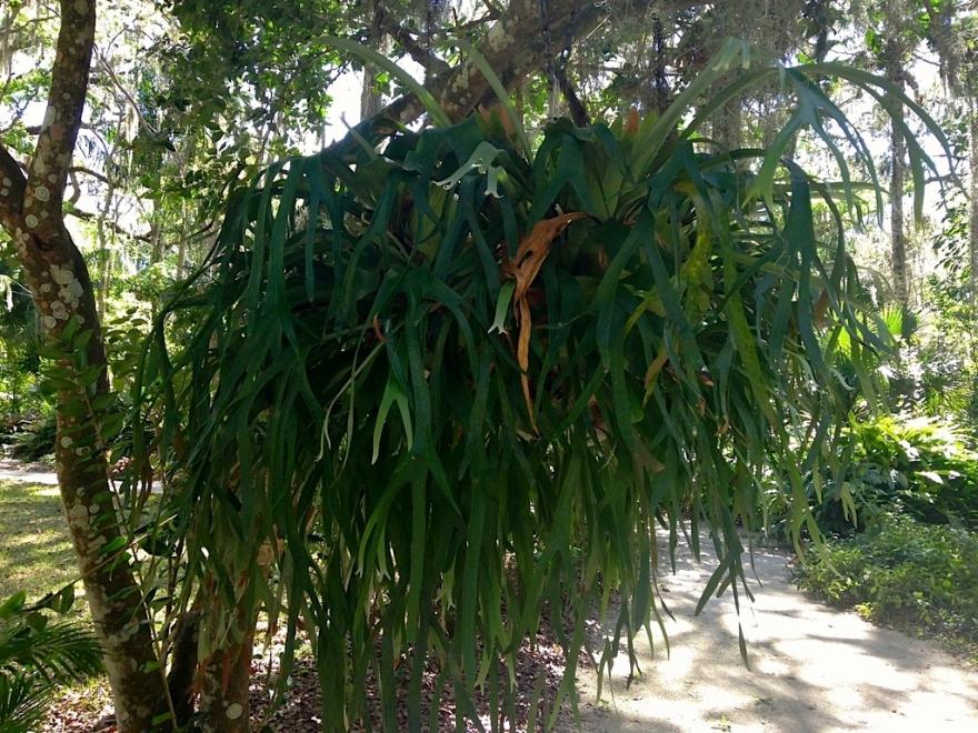 sugarmillelkhornfern