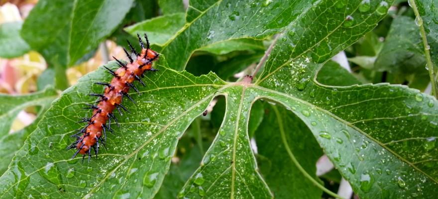 Gulf Fritillary Caterpillar, 5/3/14