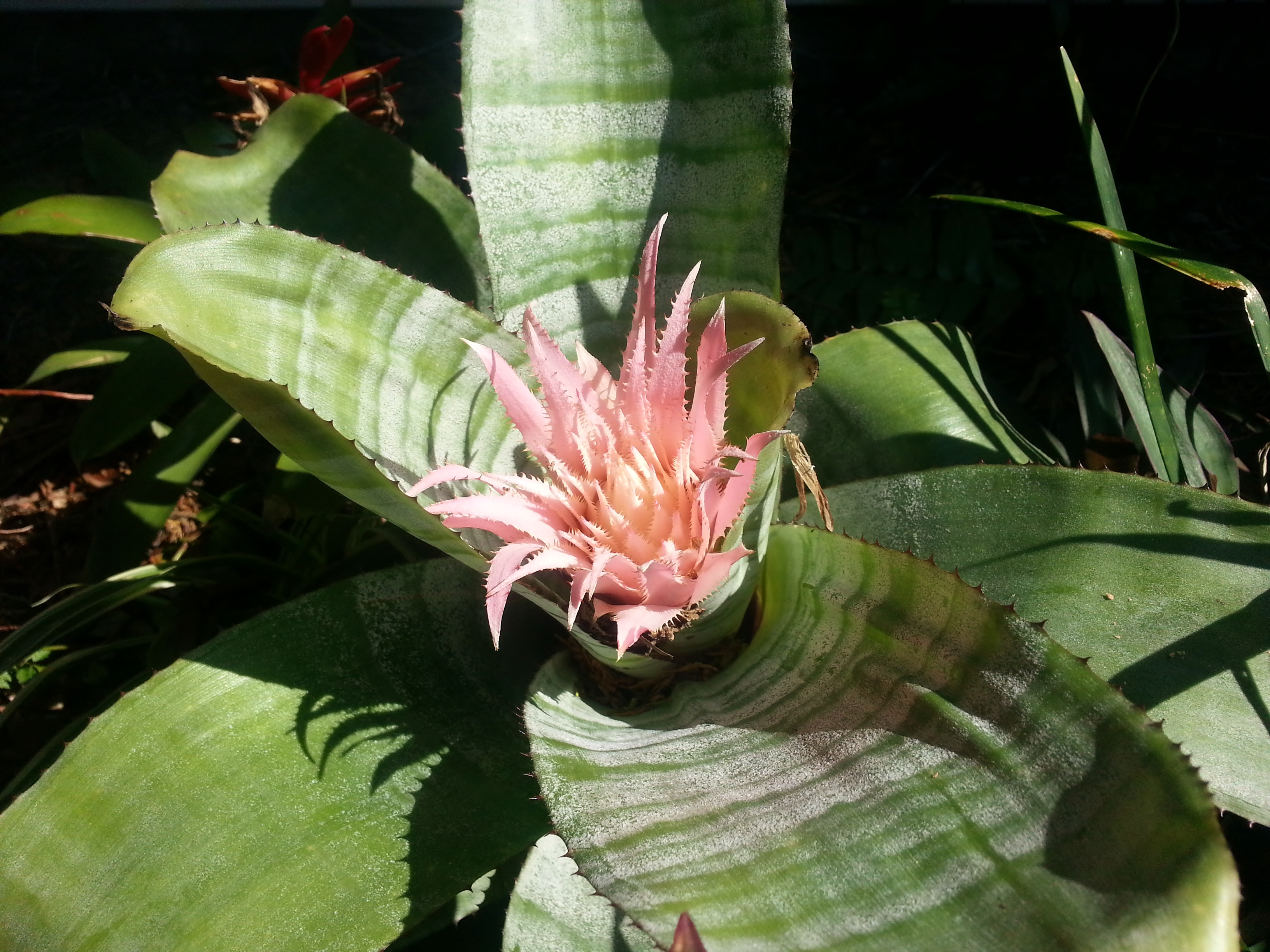 Aechmea fasciata and miscellaneous small house big garden for Aechmea fasciata