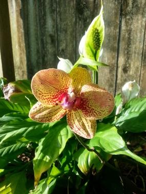 Phalaenopsis (unknown variety) 6/25/14