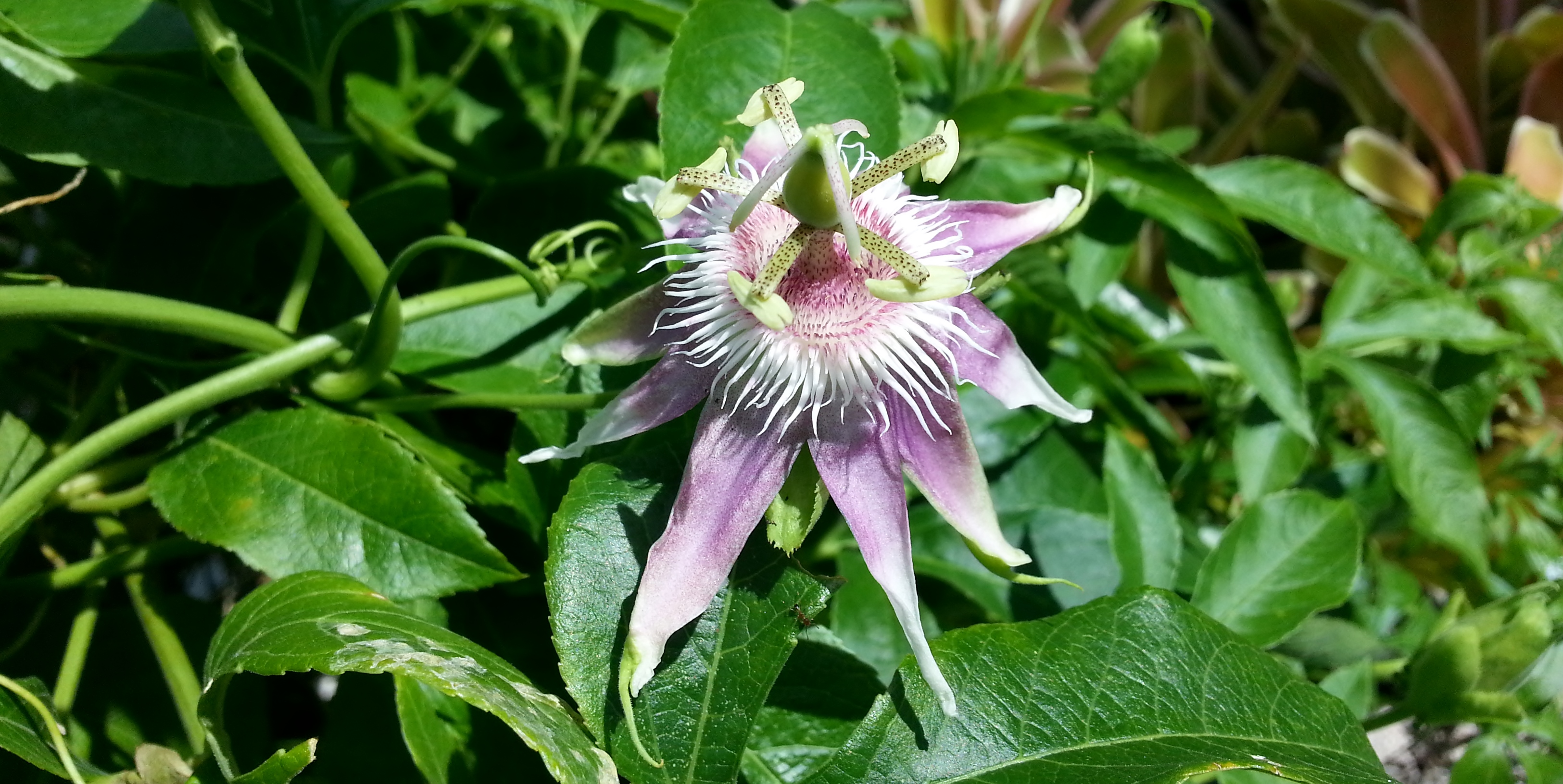 My First Passiflora Hybrid