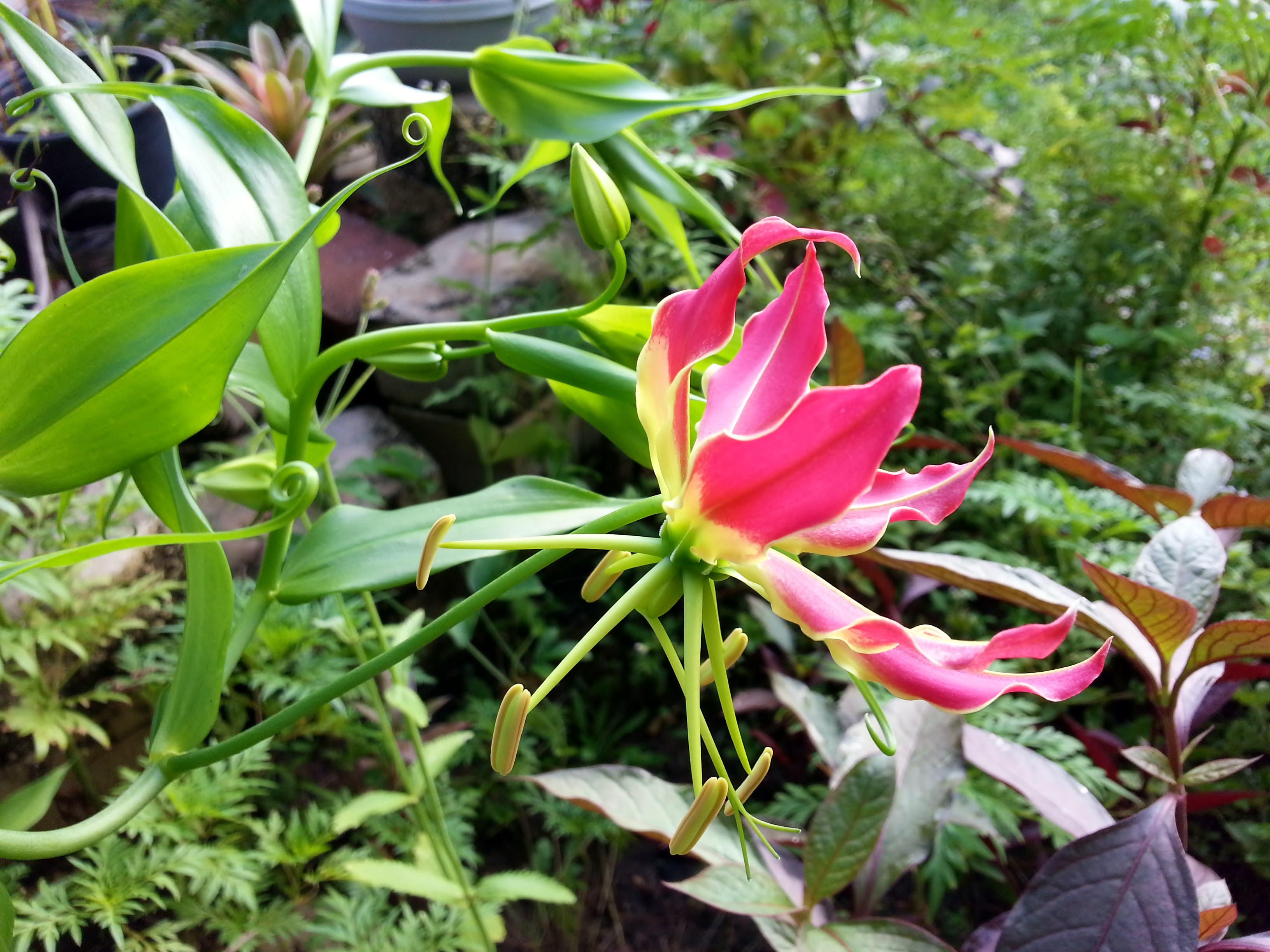 Flame Lily Update: It's Opening!