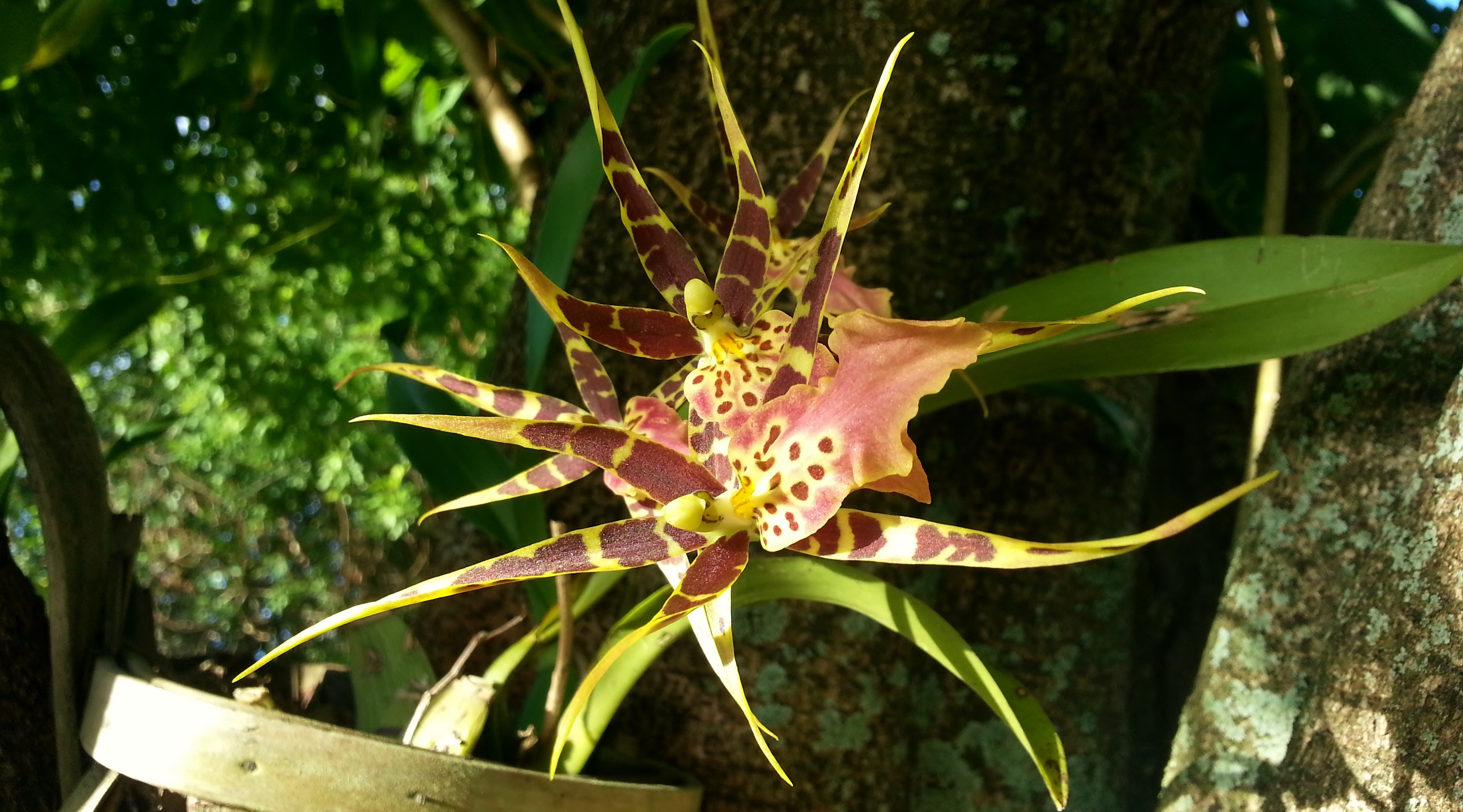 Brassia Maculata in Bloom