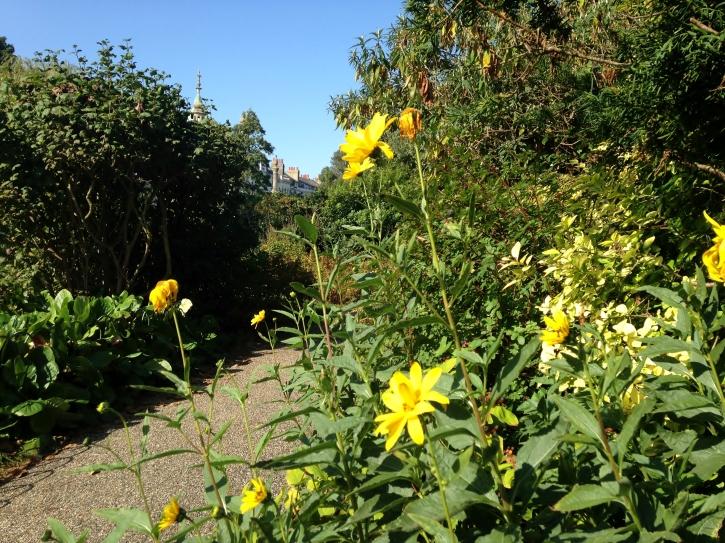 Yellow Helianthus
