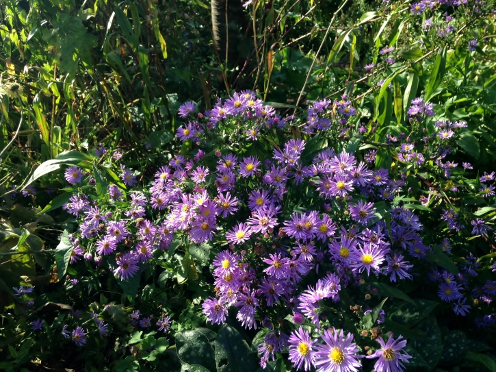 "Aster amellus ""Violet Queen"""