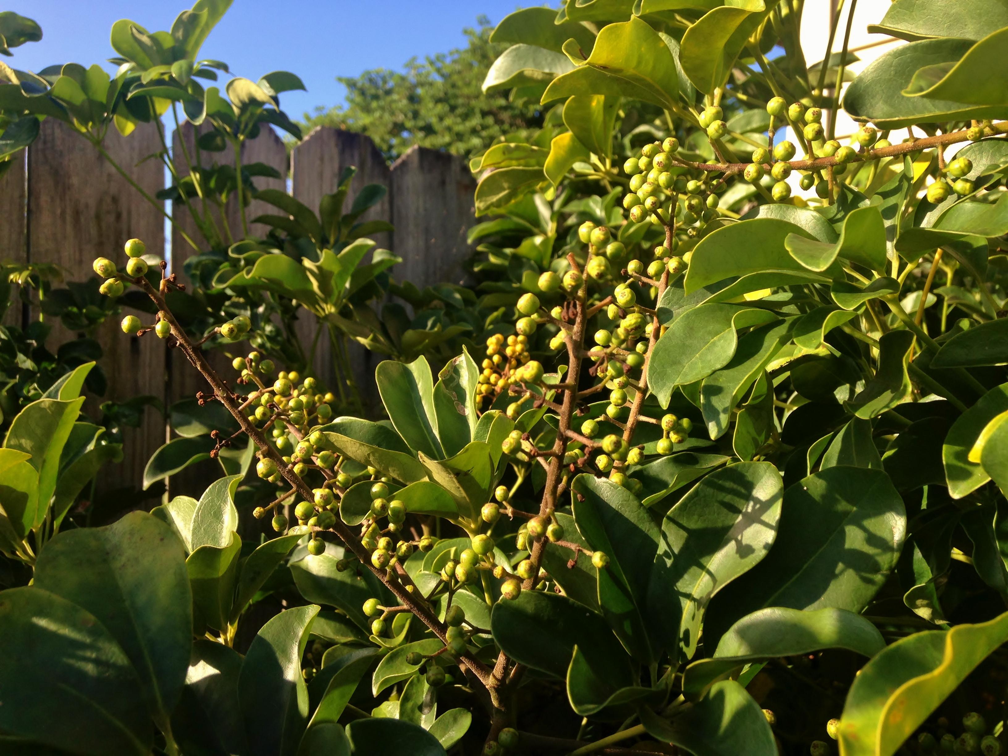 Schefflera arboricola Flowers/Berries