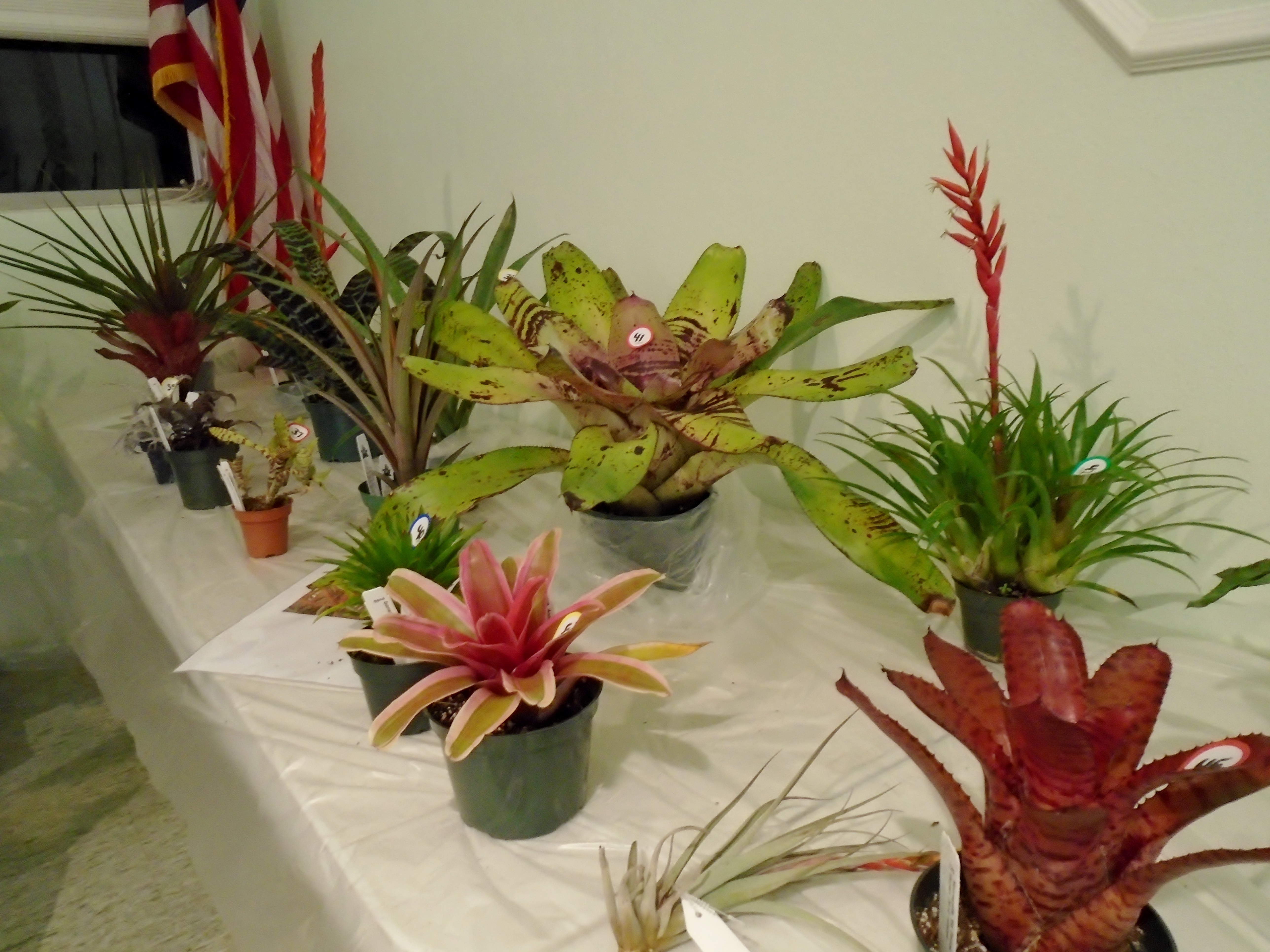 Bromeliad Auction and Billbergia Amoena