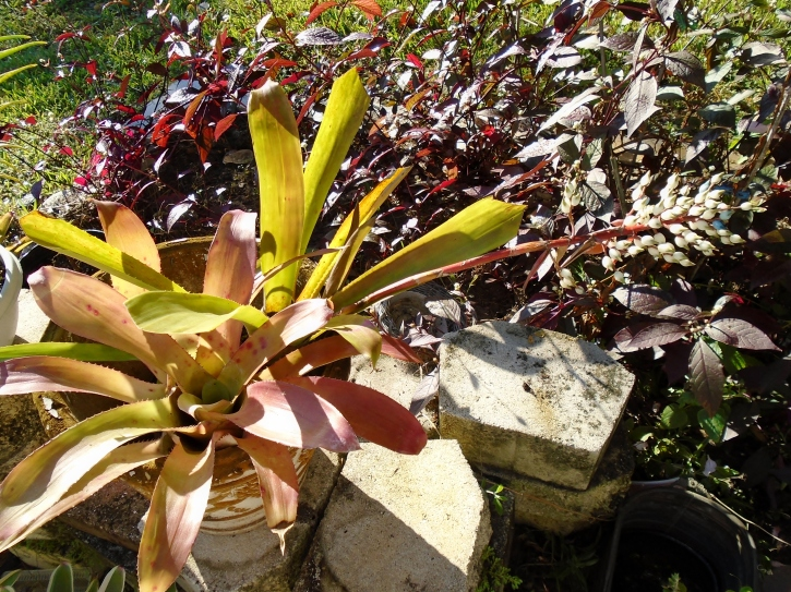 Aechmea penduliflora x politii 'Red Leaf'