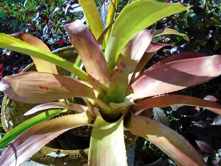 Aechmea Wally's Wand Foliage