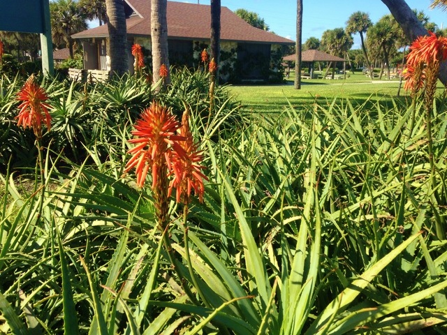 Aloe arborescens blooming at Jaycee Beach!