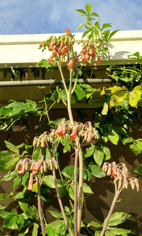 Bryophyllum houghtonii, January 2015
