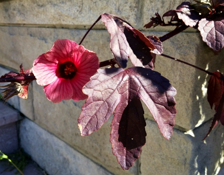Hibiscus acetosella flower and leaf, January 2015
