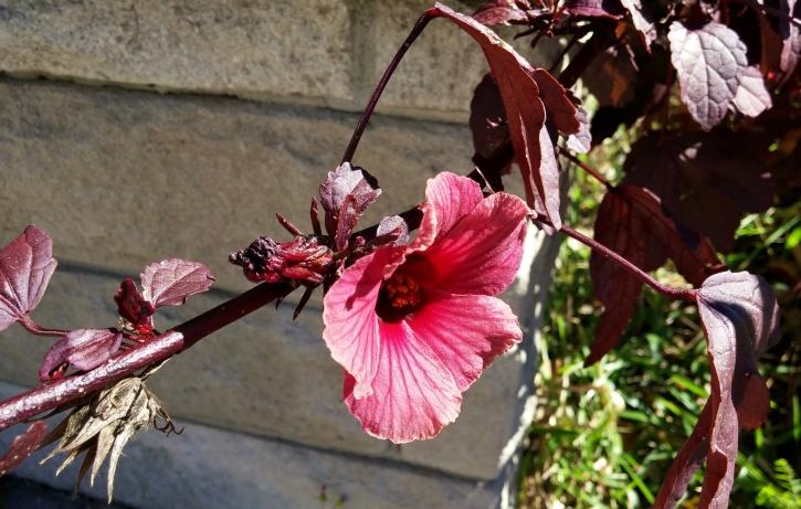 Hibiscus acetosella flowering twig
