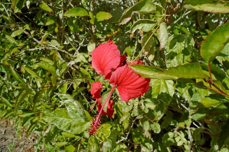 Hibiscus, Vero Beach