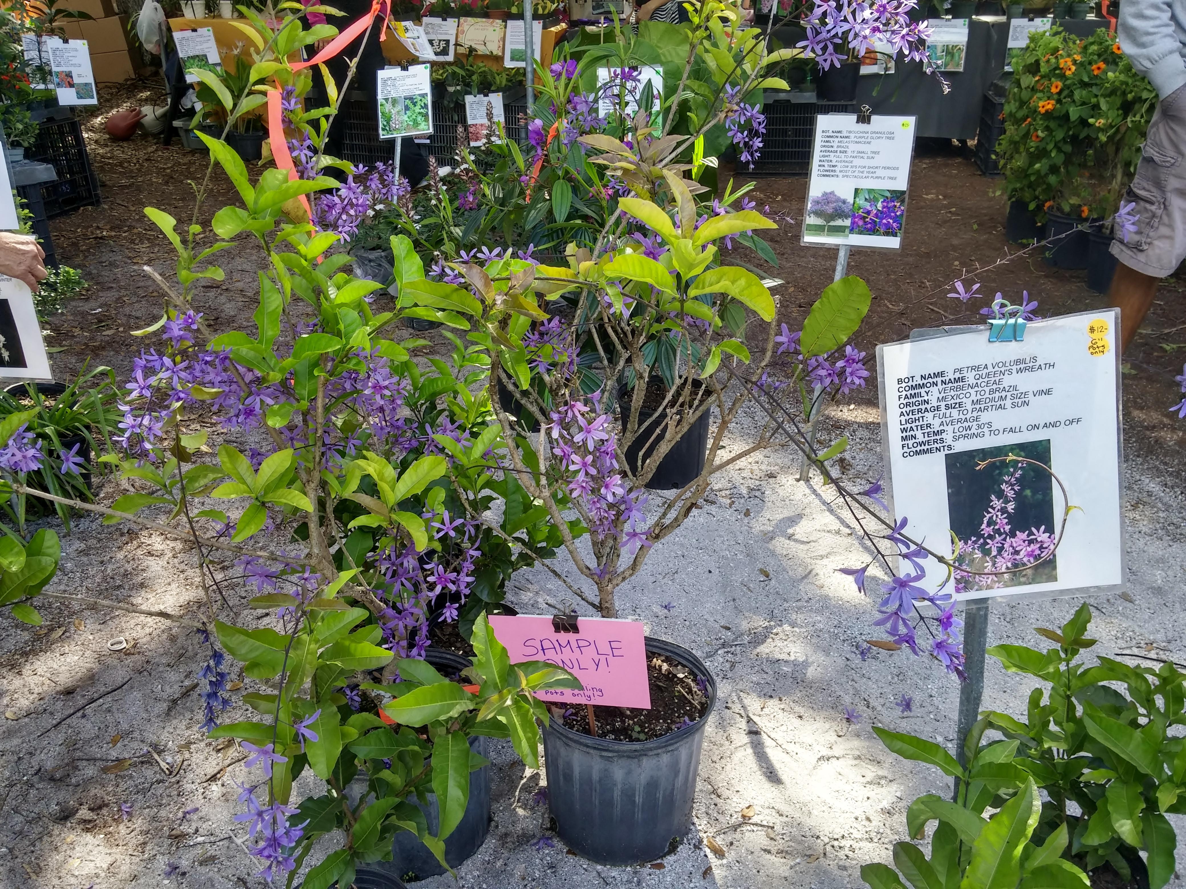 Petrea volubilis  (Gardenfest part 2)